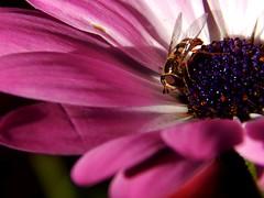 Hoverfly in Cosmos (starmist1) Tags: hoverfly cosmos maggiesgarden frontyard entomology bug fly pollinator