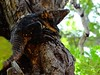 12 (Dole Posleman) Tags: garrobo iguana arbol naturaleza vida