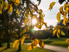 just before the leaves are falling (d@neumi) Tags: leaves bltter sonne herbst autumn dof tiefenschrfe pflanzen himmel bokeh boket farben fall lumix panasonic g7 bume