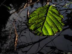 zwielichtiges Blatt (-BigM-) Tags: deutschland germany baden württemberg göppingen fils wald forest pilz mushroom herbst autumn indian summer linzenholzsee bürgerhölzle