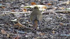Hermit Thrush (Baractus) Tags: hermit thrush john oates city central park manhatten new york usa