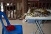 Python at the Floating Market (8mr) Tags: python snake damnoen saduak thai thailand bangkok day trip tour snakes reptile slither picture scales skin big scary animal floating market ratchaburi wildlife wild animals swallow