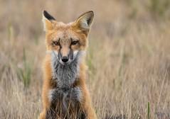 Next Generation (T0nyJ0yce) Tags: redfox young fox juvenile wild animals mammals vulpesvulpes foxeyes wildlife foxes