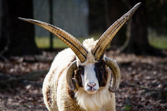The most metal animal on earth. (photos_without_borders) Tags: metal heavymetal horns horn sheep ram canon canon7d canon55250