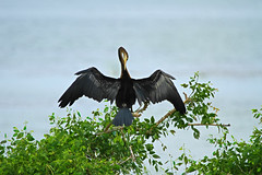 The Oriental Darter (Indian Darter) (Chandana Witharanage) Tags: srilanka southasia bundalanationalpark waterbird resident awesome beautiful closeup daytrip downsouth explore exploration feathers green handheld interesting jeep lovely nature natural outdoor park unique sightseeing tour trip travel visiting view ef100400mmf4556lisusm specanimal