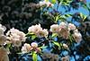 Busy Bees (Katie Tarpey) Tags: blossom spring blossomtrees bees flowers film 35mm kodak kodakportra400 nikonfm10 nikkor50mm14 hepburnsprings victoria pollinate