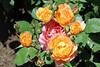 Maig_1391 (Joanbrebo) Tags: 16èconcursinternacionalderosesnovesdebarcelona park parque parc parccervantes garden jardín jardí barcelona blumen blossom flors flores flowers fiori fleur canoneos70d efs18135mmf3556is eosd autofocus doublefantasy rosesforeveryone