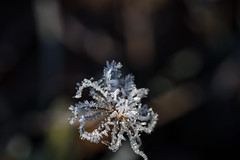 Frosty morning (Infomastern) Tags: cold frost kallt macro makro natur nature
