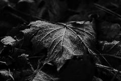Vad döljer sig här under? Ett av livets mysterier kanske? (KåTvå) Tags: fs161204 mystik fotosöndag fotosondag löv leaf canon ef50mm bw svartvit