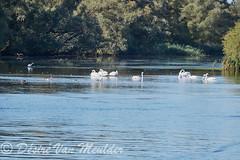 Groep  knobbelzwanen - Group mute swans (desire van meulder) Tags: birds swans swan vogels zwaan zwanen muteswan knobbelzwaan