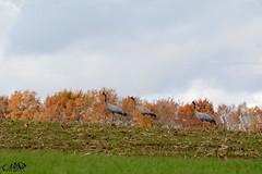 Grues (neku.chou) Tags: grues oiseau bird migration ornithologie ornithology wild wildphotography nikon nikond5200 animal animalphotographie animals marne lac du der montier en