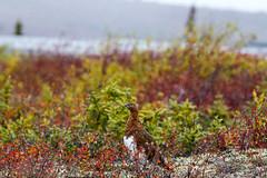 Autumn Leaves the Bird (VRileyV) Tags: autumn bird ptarmigan tundra foliage arctic circle northwestterritories nwt nt dempster highway 2015 snow