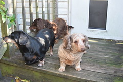 I should know better (Tobyotter) Tags: dachshund link frank jimmydean