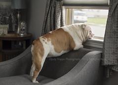 The best therapist has fur and four legs. (dog ma) Tags: tank english bulldog mydog dog ma jodytrappephotography nikon d750 nikkor 50mm pet portrait indoors