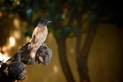 Black Eyed Bulbul (peet-astn) Tags: blackeyedbulbul blackeyed bulbul bird garden southafrica kyalami black shade branch tree