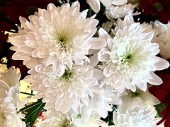 Weie #Chrysanthemen (RenateEurope) Tags: chrysanthemen awesomeblossoms quintaflower flora flowers plants nove ber 2016 iphoneography iphone6s renateeurope