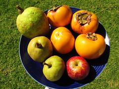 starr-161113-5866-Diospyros_kaki-local_fall_fruit-Hawea_Pl_Olinda-Maui (Starr Environmental) Tags: diospyroskaki