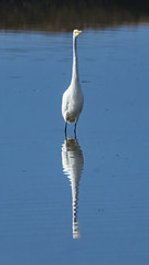 Long Reflection (opheliosnaps) Tags: egret heron white blue reflection bird nature marsh wading water ripples tall skinny
