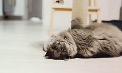 16.11.2016 (Fregoli Cotard) Tags: cat tomcat greycat grey greywalls greykitty britishlonghair british britishcat longhair fluffykitty fluffy fluffycat cutekitty dailyjournal dailyphoto dailyphotograph daily freckols 366 366daily 366dailyproject 366days 366dailyphoto 366dailyjournal 366project 366photoproject 366photos photojournal photodiary photographicaljournal everydayphoto everydayphotography everydayjournal aphotoeveryday 321366 321of366