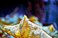 DSC_4265_v1 (Pascal Rey Photographies) Tags: feuilles feuillage foliage digikam digikamusers linux ubuntu opensource freesoftware acidulée