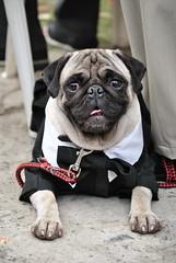 Formal Pug (puacless) Tags: pug dog doggo doginasuit doggie suit formalsuit tiny