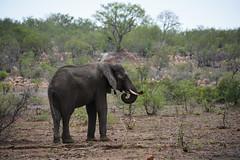 (Marijke Clabots) Tags: southafrica krugerpark safari kruger national park roadtrip wildlife elephant africanelephant landscape beauty