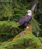 Bald Eagle (Max Waugh Photography) Tags: baldeagle haliaeetusleucocephalus britishcolumbia canada northamerica pacificnorthwest animal avian bird nature predator wildlife raptor birdofprey greatbear16 maxwaugh topf25