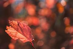 338/366 (Ravi_Shah) Tags: nj autumn cy365 potd colors sony a7ii fall leaves bokeh