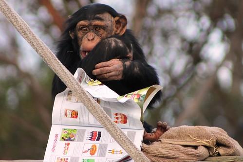 Zuri ♀ Chimpanzee