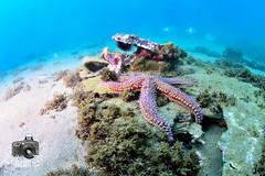 Starfish (ShaunMYeo) Tags: scubadiving gibraltar calpe underwaterphotography  gibilterra ikelite rosiabay      gibraltr  cebelitark gjibraltar ibraltaro hibraltar xibraltar giobrltar gibraltrs gibraltaras ibilt