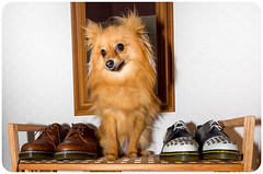 Boo the Pomeranian. (CWhatPhotos) Tags: pictures original etched dog 3 macro feet me leather tattoo that foot shoe three photo pom mine foto with hole photos dwarf dr air picture canine joe tattoos wear collection have doctor footwear fotos z comfort pomeranian sole doc cushion marten which soles dm spitz stud docs laces studs contain drmartens bouncing airwair pompom docmartens welt martens dms laced studded tattooed darci drmarten pomeranium cushioned 1461 wair bouncingsoles zwergspitz cwhatphotos 1461s dwarfspitz drmartendarci