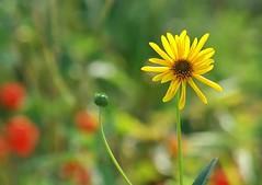 Zen (mamietherese1) Tags: ngc artisticflowers world100f phvalue sailsevenseas persephonesgarden
