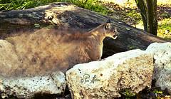 Florida Panther (Pam Garland) Tags: nature animal cat mammal feline conceptual panther carnivore protected disappearing floridapanther