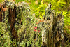 Старый пень (klgfinn) Tags: forest landscape lichen moss stump summer wood лес лето лишайник мох пейзаж пень