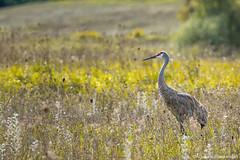 Sandhill Crane (digithief) Tags: ca cambridge ontario canada birds nikon sandhillcranes d800