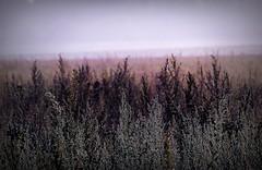 Misty morning 16 (april-mo) Tags: mist france field misty fog foggy nord champ brume mistymorning engraisvert villerscampeau chemindesgalibots