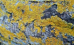 Lichen on Rock (esala.kaluperuma) Tags: mostviewed 10000views lichen esala kaluperuma photograph rock sony sonyxperia sonyxperiaz2