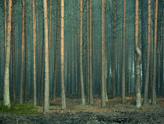 Twisted (Simon Verrall) Tags: autumn trees mist pine forest woods october forestry surrey morningmist 2015 frensham