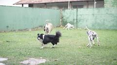 DSC03110 (agorayebm) Tags: dog bordercollie dalmatian fila crick dlmata filabrasileiro