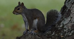 Squirrel (1) (Porch Dog) Tags: nature animal squirrel kentucky wildlife overcast september neighborhood 2015 garywhittington nikond750 nikon200500mm
