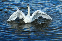 Angel of the Lake (jdathebowler Thanks for 4.5 Million + views.) Tags: swan muteswan cygnusolor aquaticbird thebeautyofnature angelofthelake