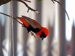 Orange Bishop (Nazeer Mahomed) Tags: orange bird bishop sx50