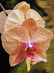 Orchid 1_DSC0287 (Zeta_Ori) Tags: orchid flower hawaii islands pacific maui tropical napili napilibay napilikaibeachresort nikond90