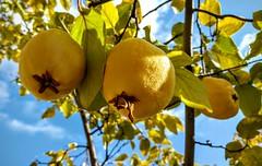 2015-11-11 11-42-51_1447361977 (rsuna) Tags: fruit trkiye f 18 quince konya meyve ayva gz lg4