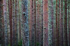 Fusta (bernat.rv) Tags: wood trees lake tree texture textura forest lago scotland woods escocia trunk trunks loch tronco ness troncos