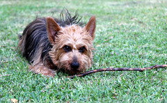 It's my stick and you're not getting it! (StaceyA42) Tags: dog australian terrier aussie