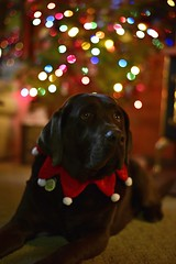 When will HE be here? Will he bring FOOD? (imageseekertoo (Wendy Elliott)) Tags: christmas chocolatelab mickie christmasstarwithbokeh dogbychristmastree dogwithbokeh