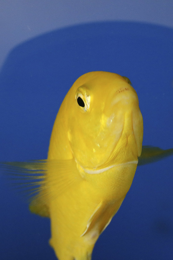 The world 39 s best photos of cichlid and malawi flickr for Malawi buntbarsch