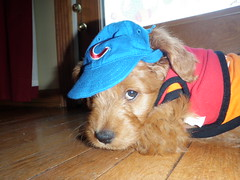 sonny-is-chicagos-newest-cubs-fan--sonny-is-one-of-molly-and-chewys-puppies-_4477999428_o