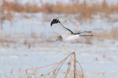 Male Northern Harrier in flight